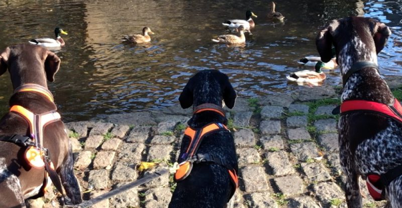 Dogs and ducks